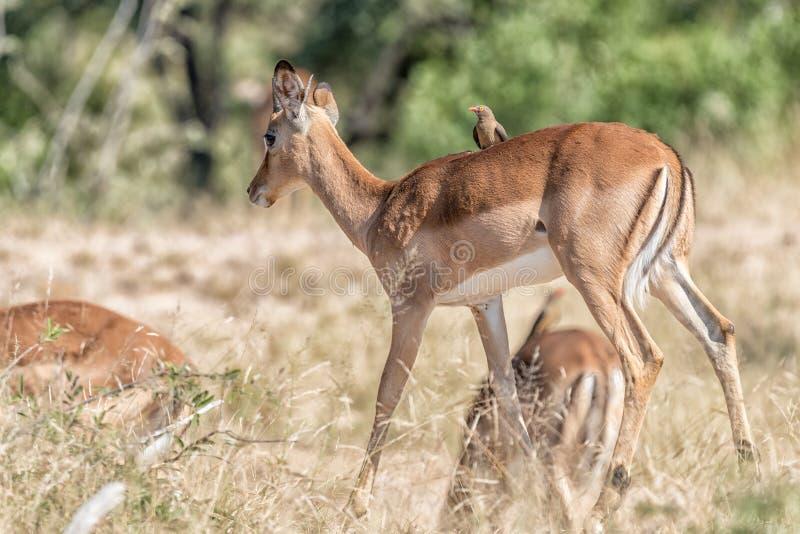 Jeune RAM d'impala avec l'oxpecker rouge-affiché sur son dos image libre de droits