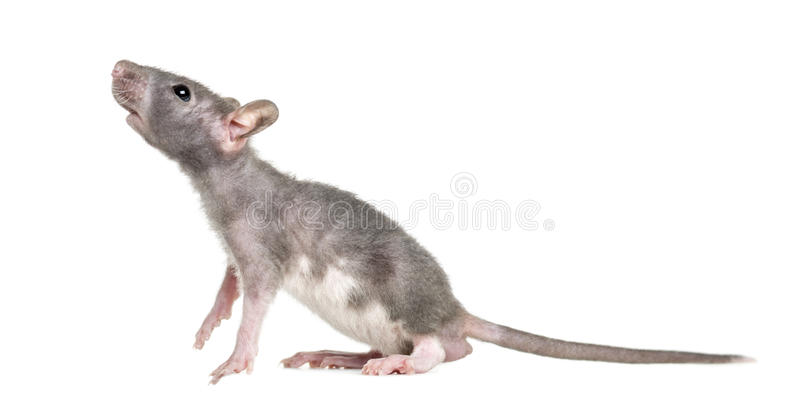 Jeune rat chauve, d'isolement photo stock