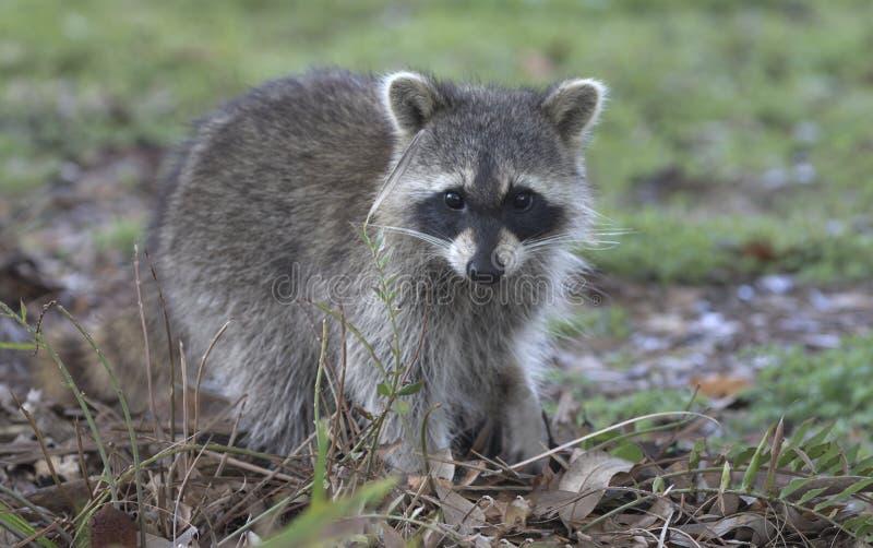 Jeune raton laveur au Green Cay Wetlands en Floride image libre de droits