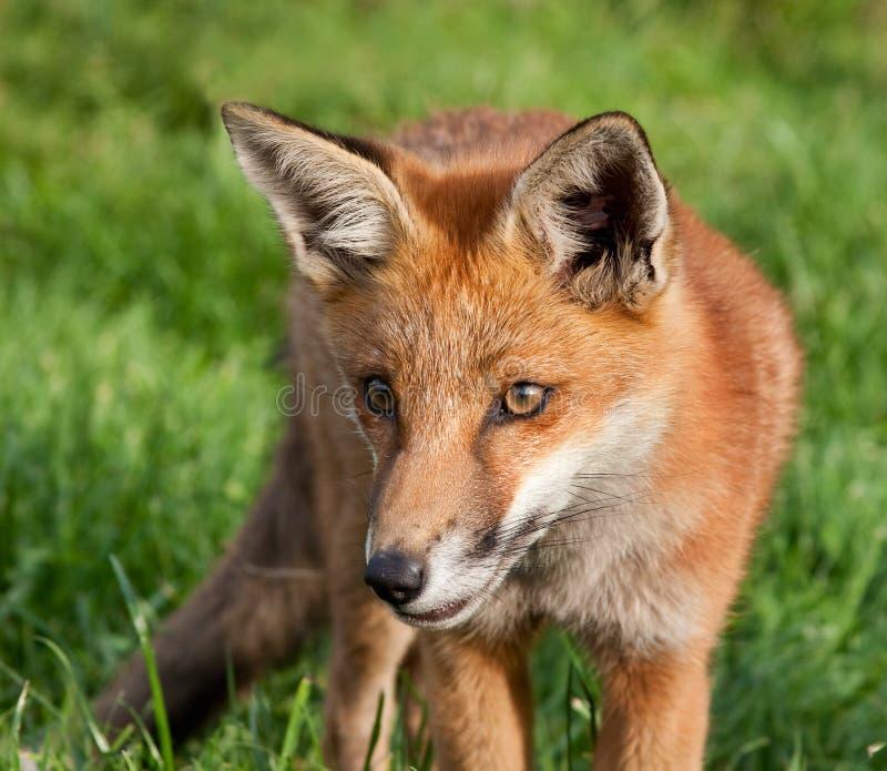 Jeune renard photos libres de droits