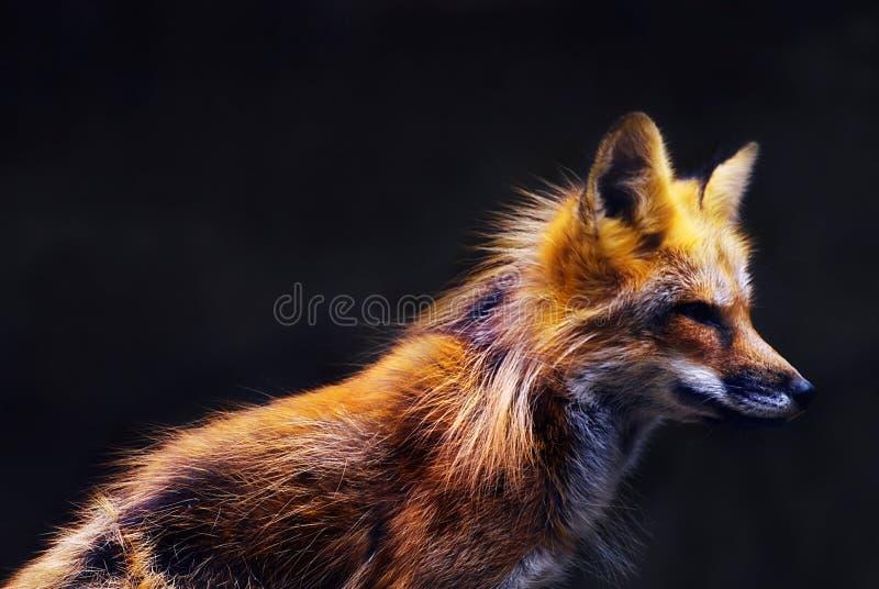 Jeune renard rouge (vulpes de vulpes) dans la lumière molle de coucher du soleil photos stock