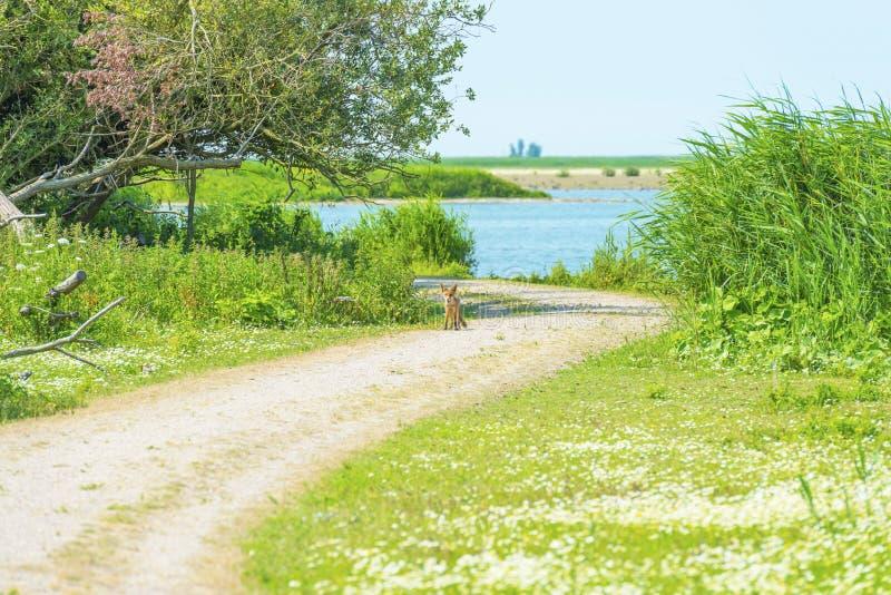 Jeune renard sur un chemin le long du rivage d'un lac images stock