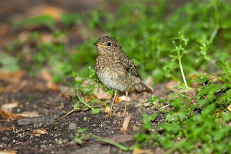 Jeune Robin (rubecula d'Erithacus) Oiseau sauvage dans un habitat normal photo libre de droits