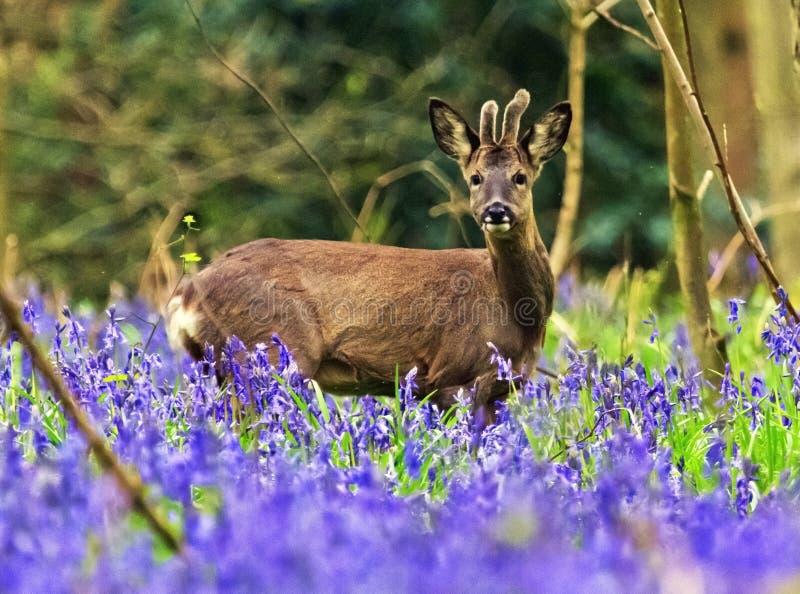 Jeune Roe Deer Stag dans les jacinthes des bois photos libres de droits