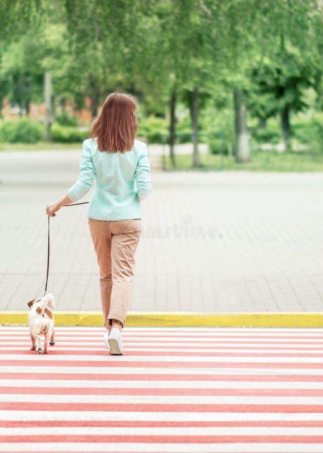 Jeune rue de croisement de femme adulte sur le passage piéton avec le petit terrier de Russel de cric de chien au jour d'été Marc photo libre de droits