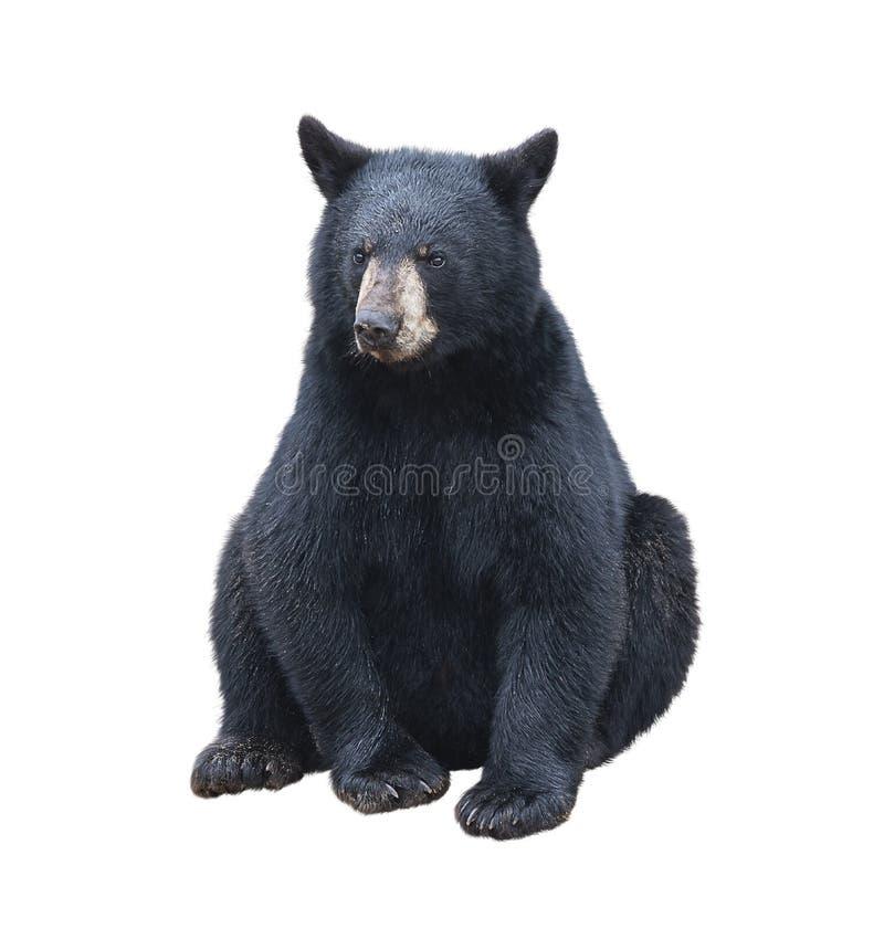 Jeune séance d'ours noir image stock