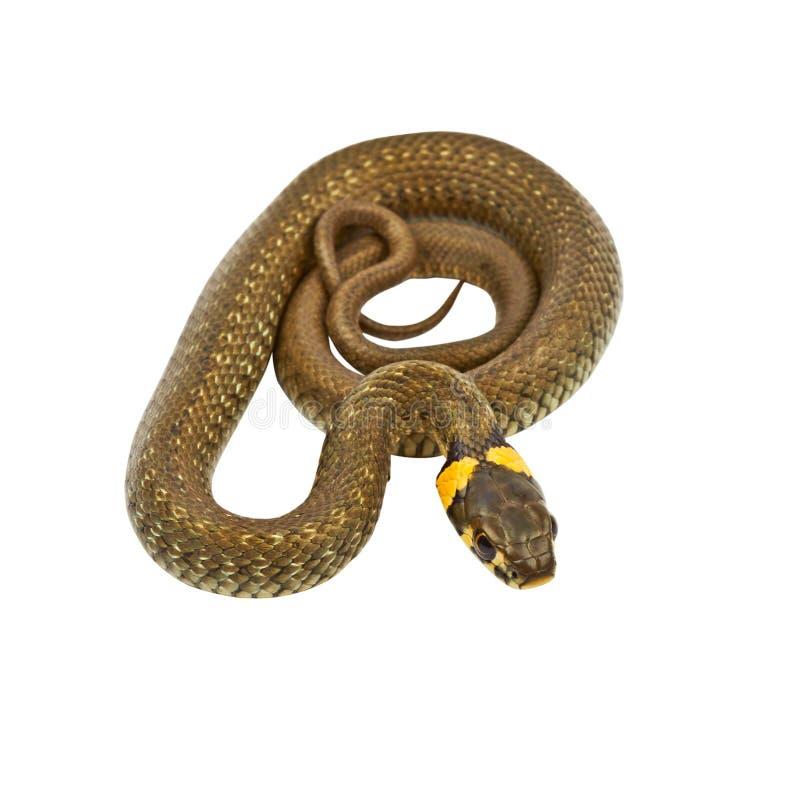 Jeune serpent d'eau (Natrix) photos stock