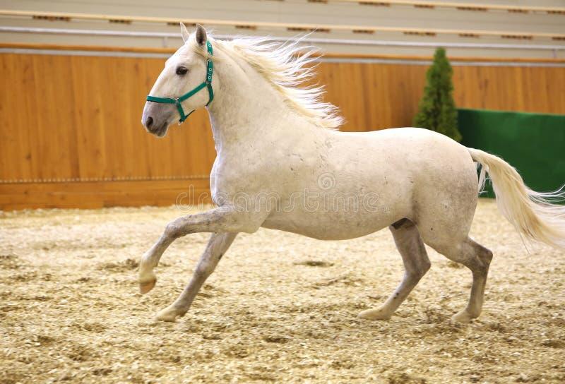 Jeune seul petit galop lipizzan de race de cheval de race photographie stock