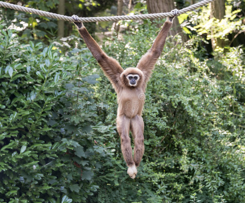 Jeune singe de gibbon photos stock