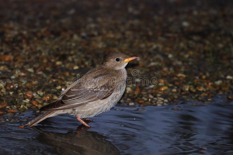 Jeune Starling attrayant photo stock