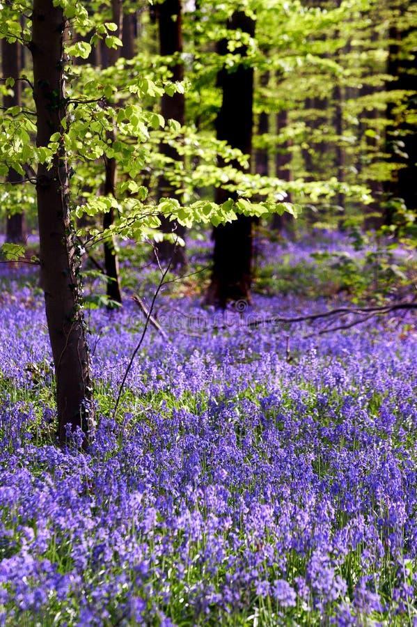 Jeune tapis d'arbre et de bluebell images libres de droits