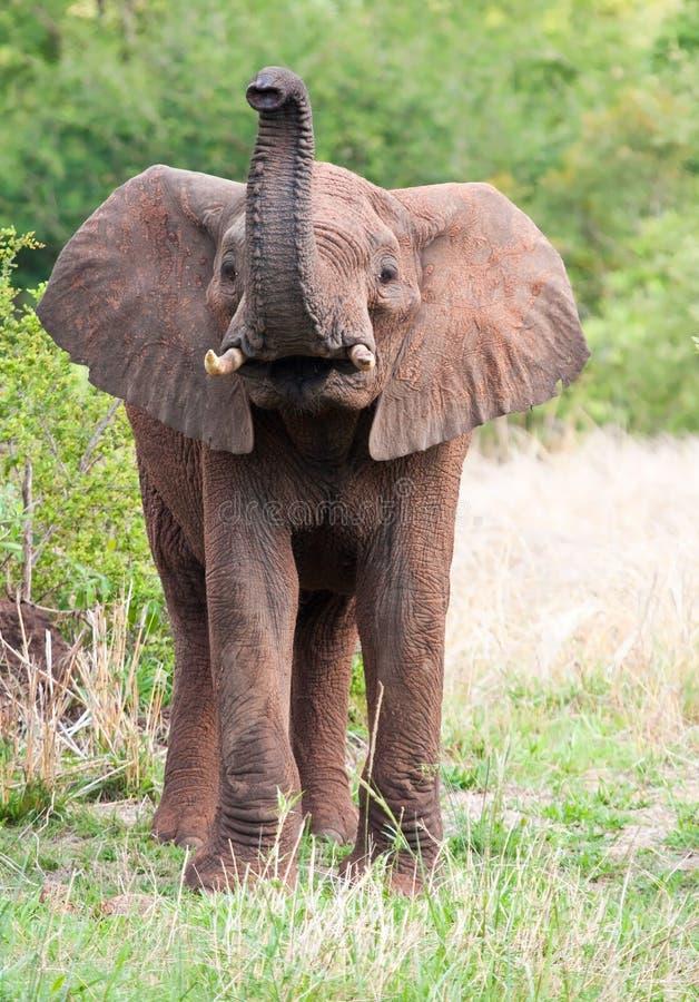 Jeune taureau d'éléphant images libres de droits