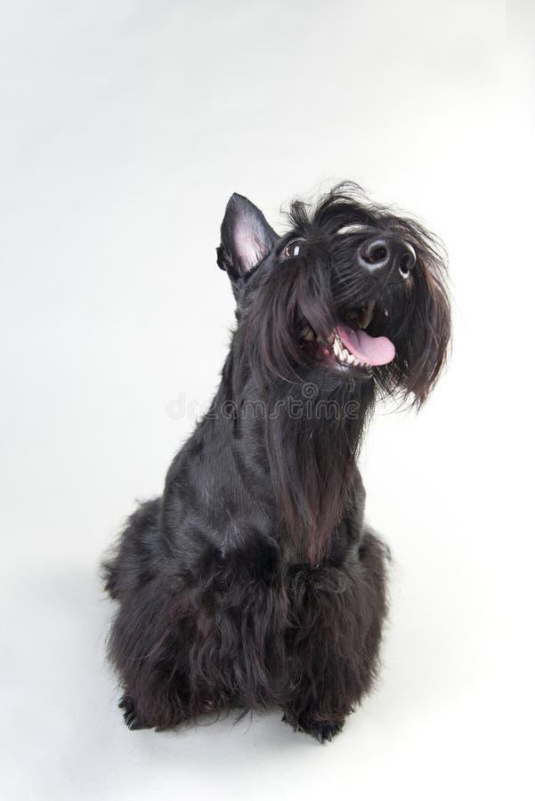Jeune terrier écossais sur un fond blanc images stock