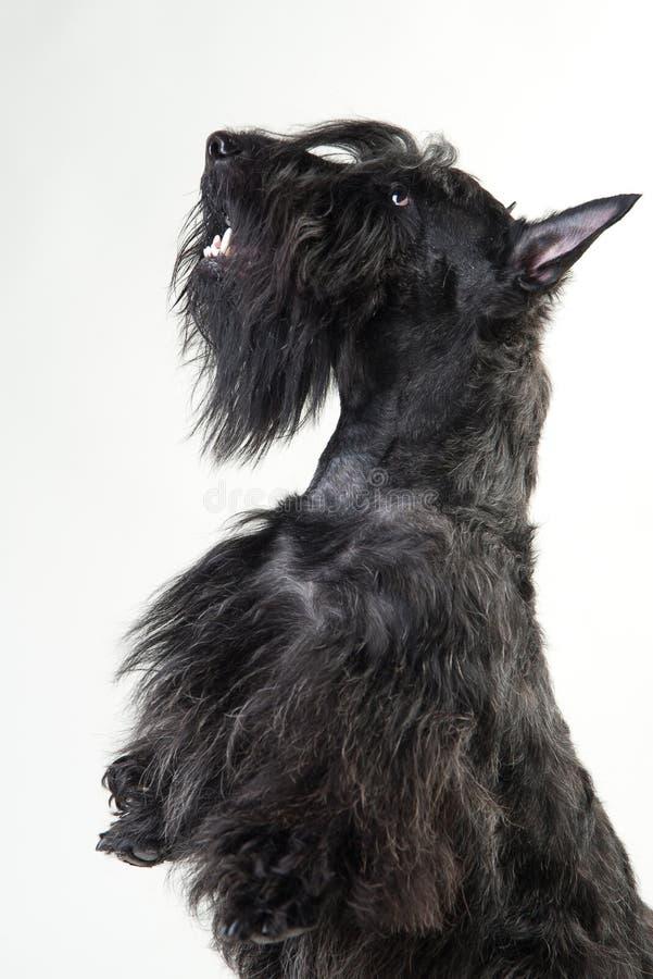 Jeune terrier écossais sur un fond blanc image stock