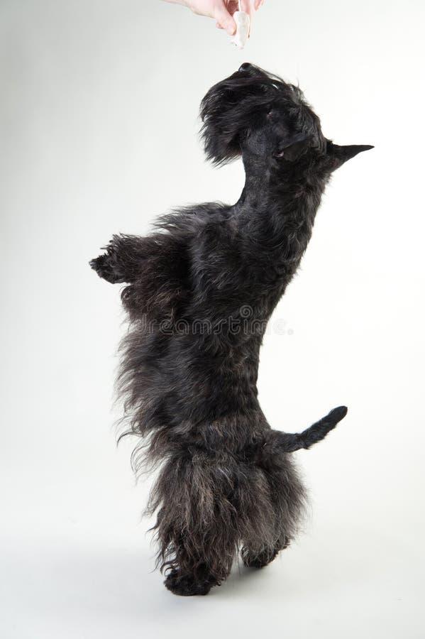 Jeune terrier écossais sur un fond blanc photographie stock libre de droits