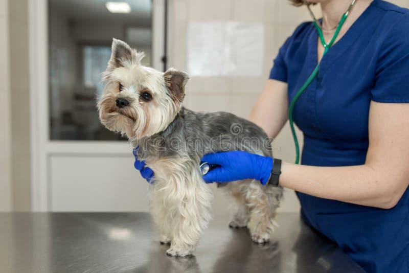 Jeune terrier de Yorkshire v?t?rinaire professionnel de sourire de race de chien d'examen de femme utilisant le st?thoscope image stock