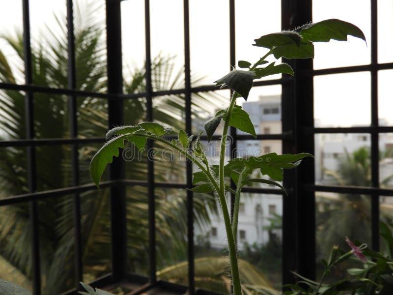 Jeune tige de tomate photographie stock