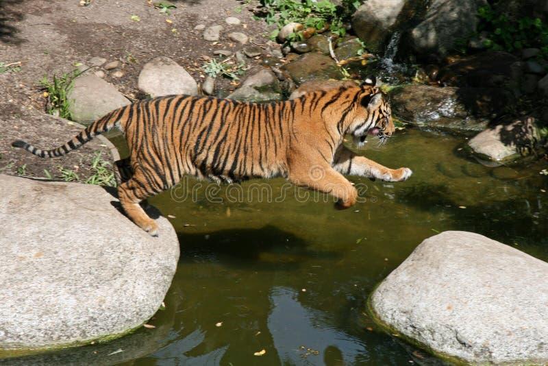 Jeune tigre de Sumatran photographie stock