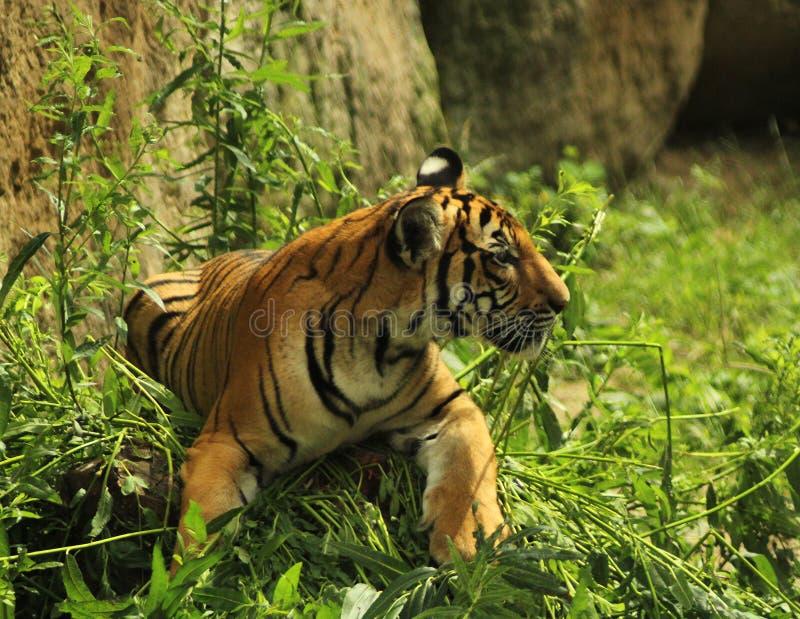 Jeune tigre marchant à un pré images stock
