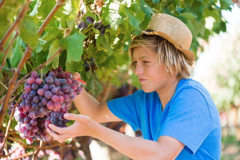 Jeune travailleur sélectionnant des raisins dans le vignoble photo libre de droits