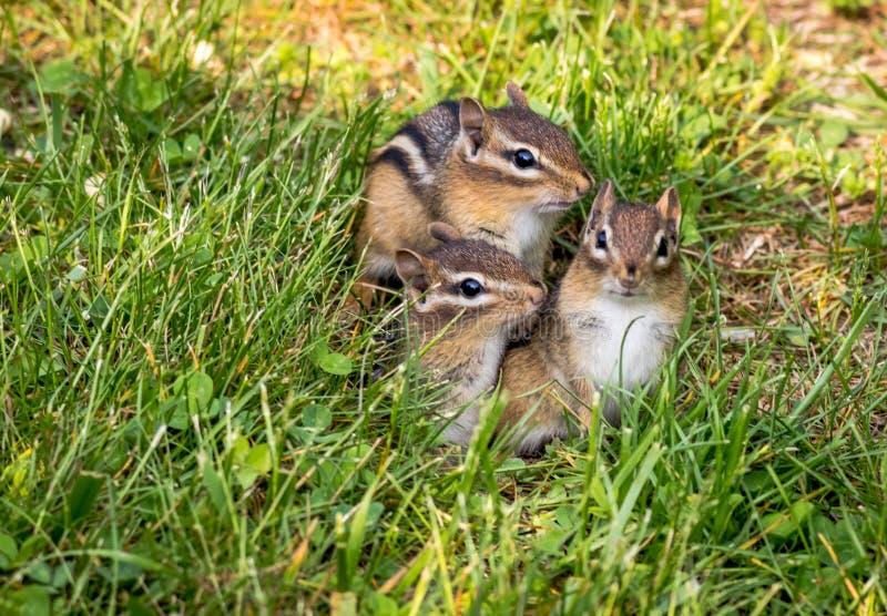 Jeune trio de tamia orientale dans l'herbe verte photo stock
