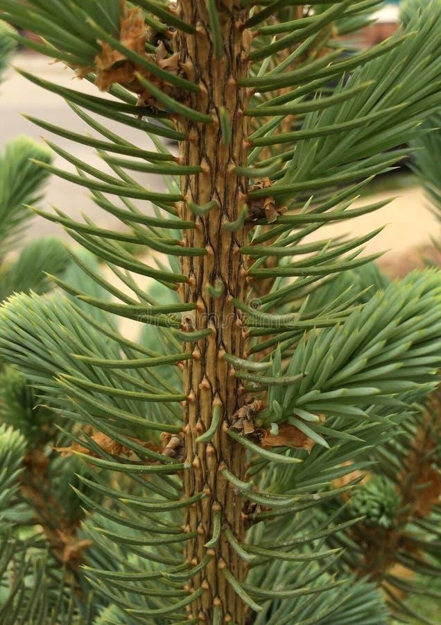 Jeune tronc à feuilles persistantes photos stock