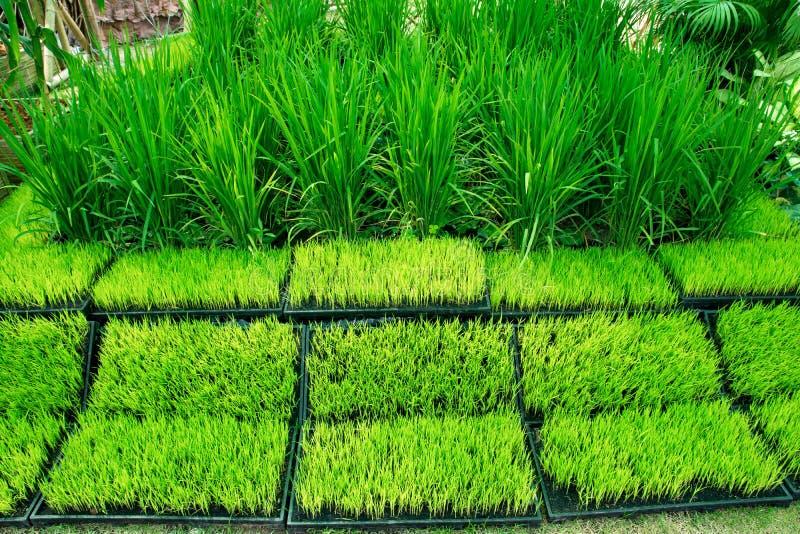 Jeune usine de riz dans le pot pour la d?monstration Vue de la jeune pousse de riz pr?te ? l'?levage dans le pot Usine de riz Jeu image stock