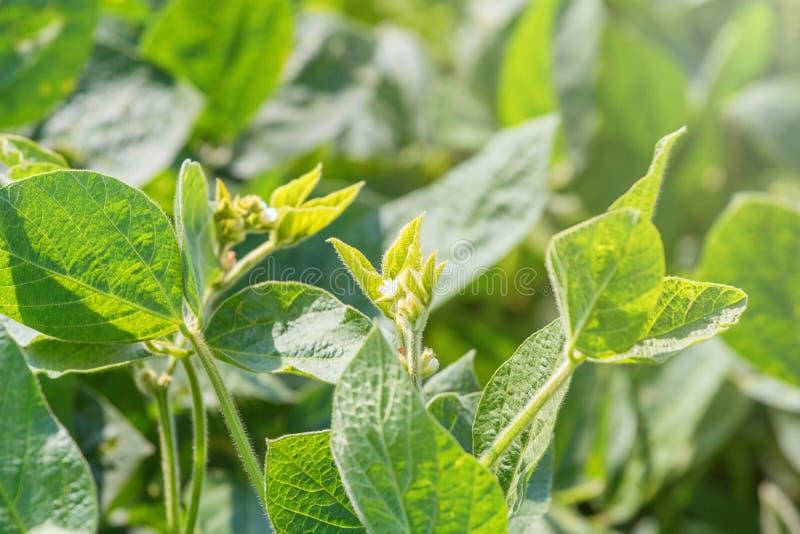 Jeune usine de soja avec la fleur Soja fleurissant croissant images libres de droits