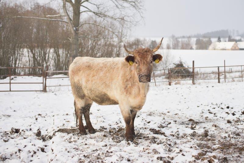 Jeune vache à beau croisement en hiver pendant la chute de neige La race est Salers et le charolais photographie stock