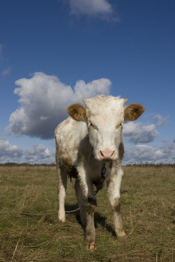 Jeune vache sur une zone d'herbe photos stock