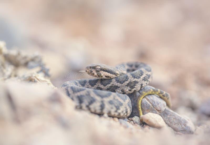 Jeune vipère mauresque et x28 ; Mauritanica& x29 de Daboia ; photographie stock libre de droits