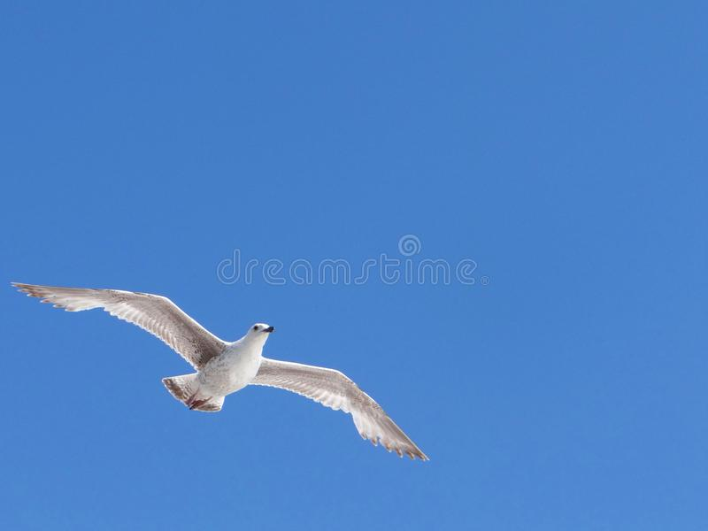 Jeune vol britannique de mouette dans les cieux bleus au-dessus de Brighton image libre de droits