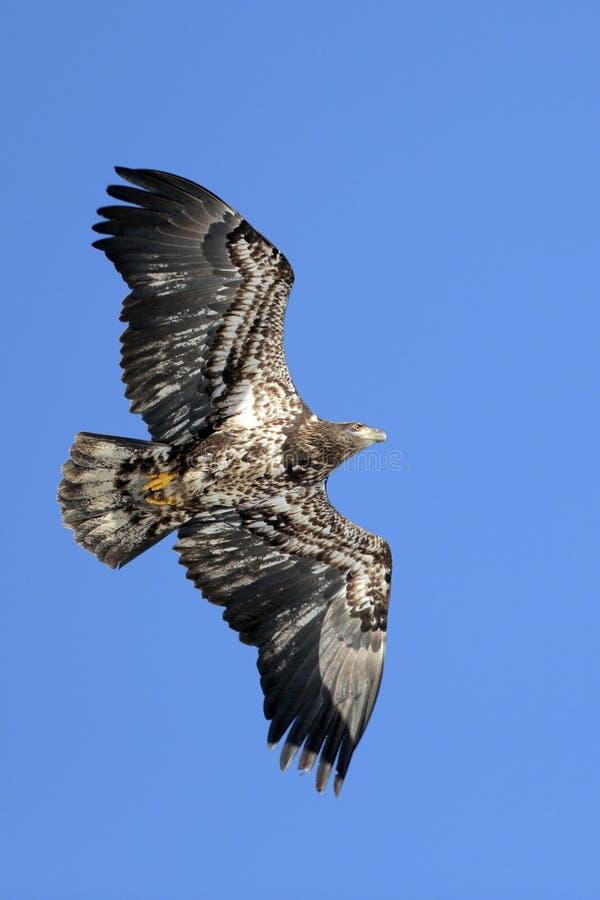Jeune vol d'Eagle chauve sur le ciel bleu photographie stock libre de droits