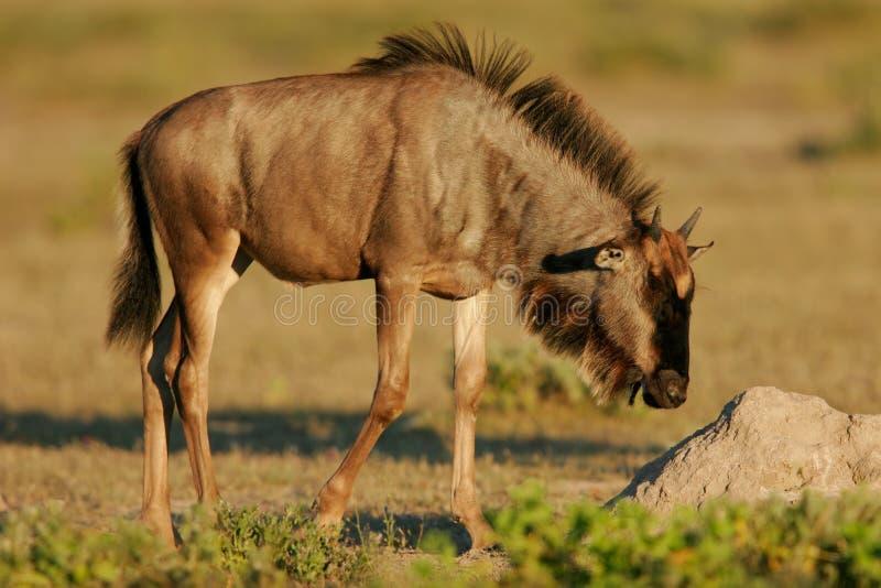 Jeune wildebeest bleu photos libres de droits