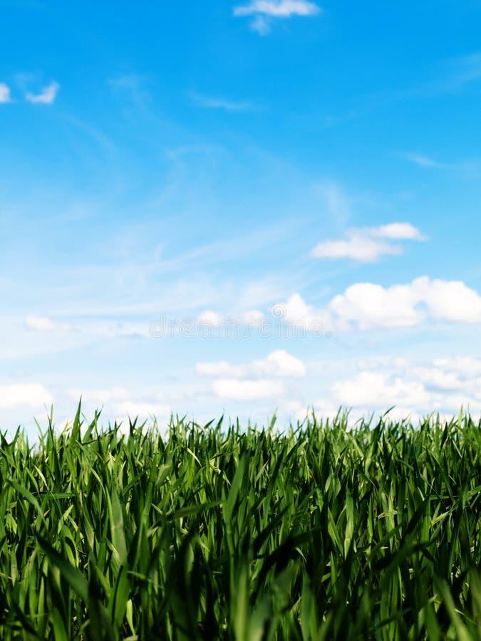 Jeune zone de blé à la source photographie stock libre de droits