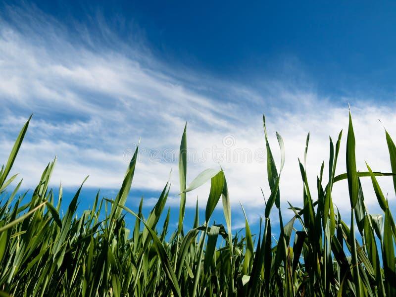 Jeune zone de blé à la source photos libres de droits