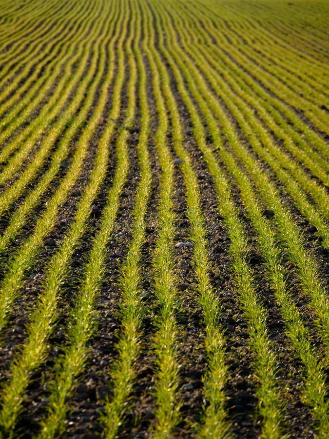 Jeune zone de blé images stock