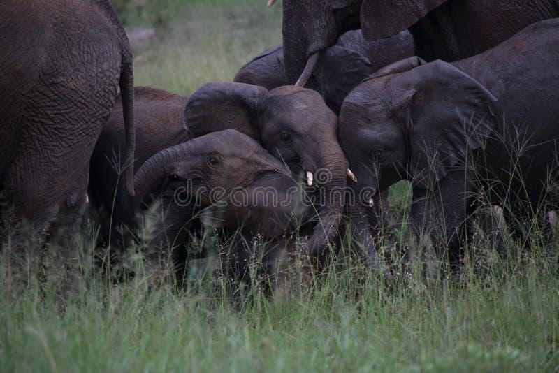 Jeunes éléphants de bébé jouant en parc national de Hwage, Zimbabwe, éléphant, défenses, loge d'oeil du ` s d'éléphant photographie stock