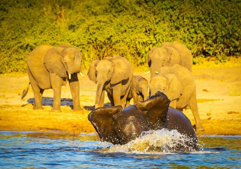 Download Jeunes éléphants Jouant Dans L'eau Photo stock - Image du nature, grand: 77157468