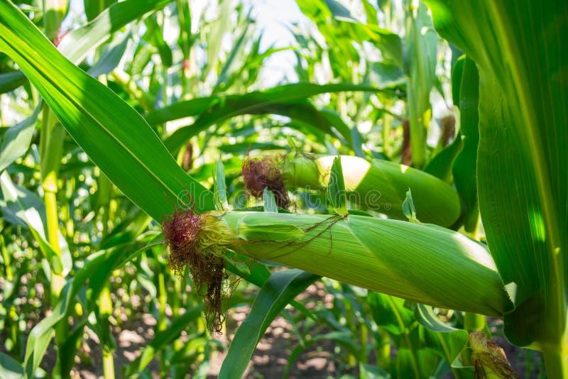 Jeunes épis de maïs dans le domaine phase de maturité image stock