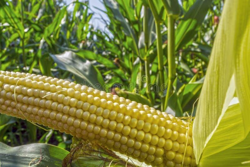 Jeunes épis de maïs dans le domaine phase de maturité photographie stock libre de droits