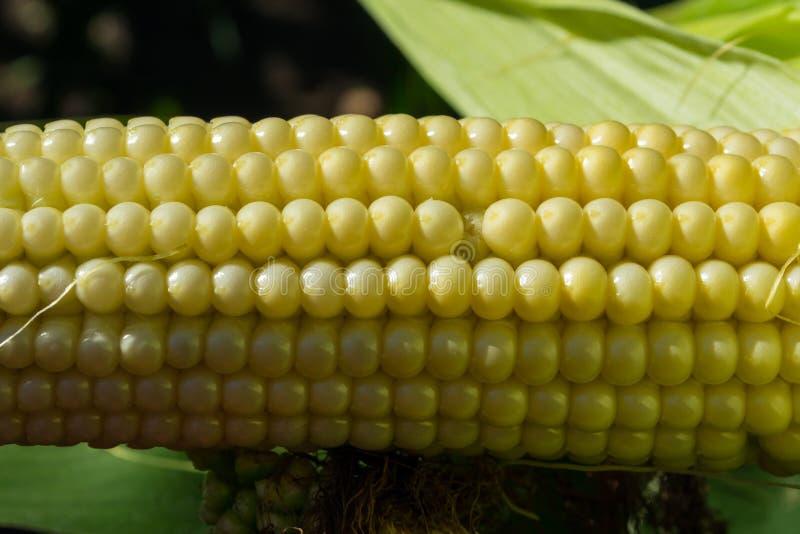Jeunes épis de maïs dans le domaine phase de maturité image libre de droits