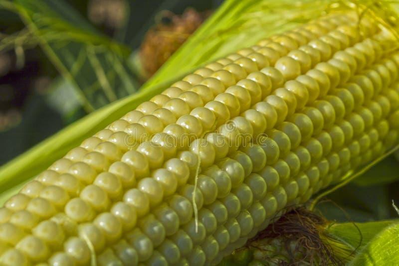 Jeunes épis de maïs dans le domaine phase de maturité images libres de droits