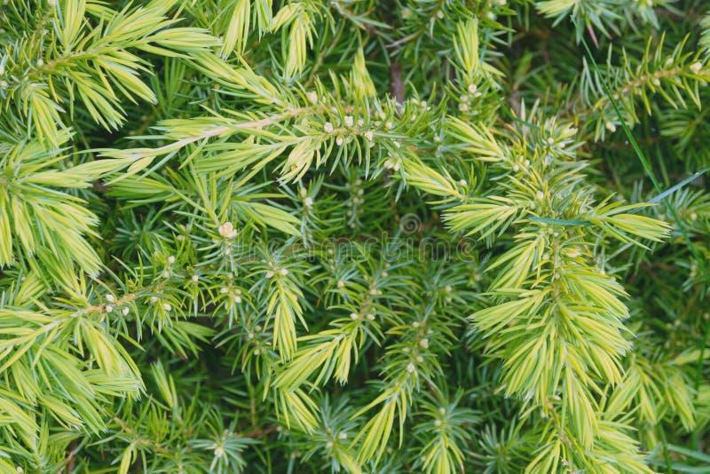 Jeunes aiguilles vertes d'un canadensis de Tsuga d'arbre conifére photographie stock