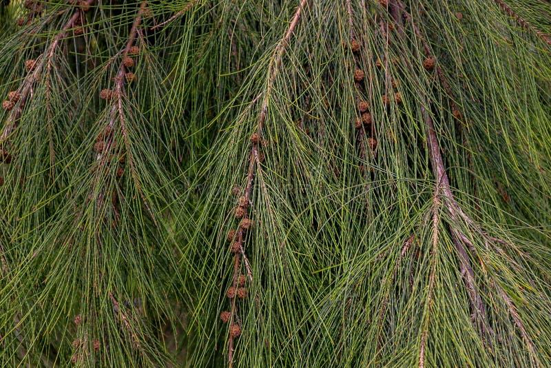 Jeunes aiguilles vertes de pin sur la branche photographie stock libre de droits
