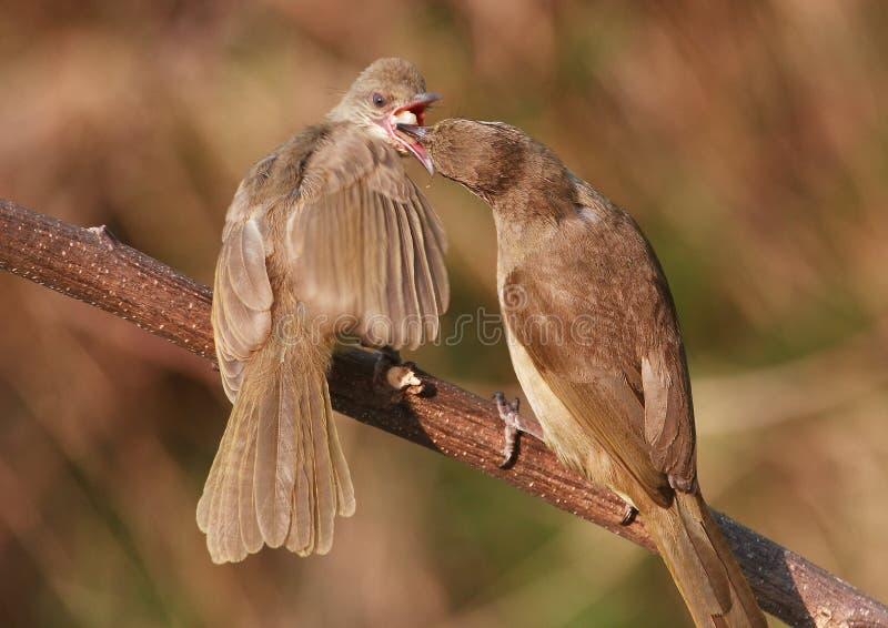Jeunes alimentants d'oiseau adulte, banane. 59-7 jpg photo libre de droits