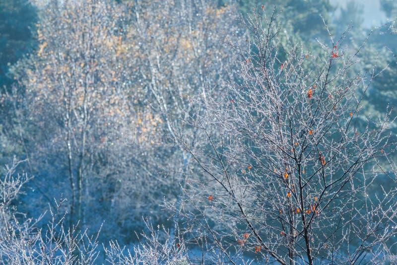 Jeunes arbres congelés d'arbre avec des feuilles d'automne photos stock