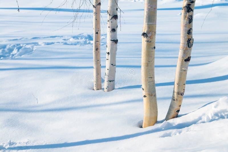 Jeunes arbres de bouleau en parc image stock