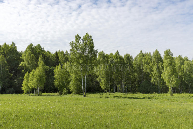 Jeunes arbres de bouleau sur un pré au bord du matin ensoleillé d'espace libre de forêt image stock