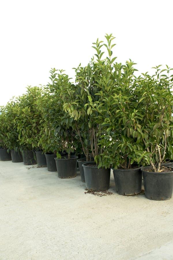 Jeunes arbres verts dans des pots en plastique noirs sur le plancher en béton D'isolement sur le fond blanc photo libre de droits